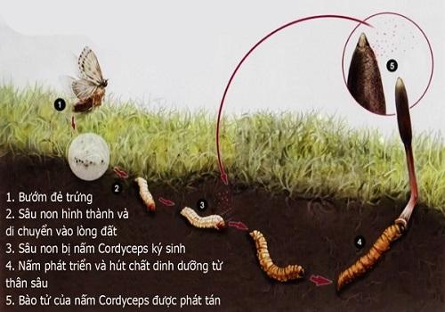 Giá trị thực và tác dụng của đông trùng hạ thảo Việt Nam